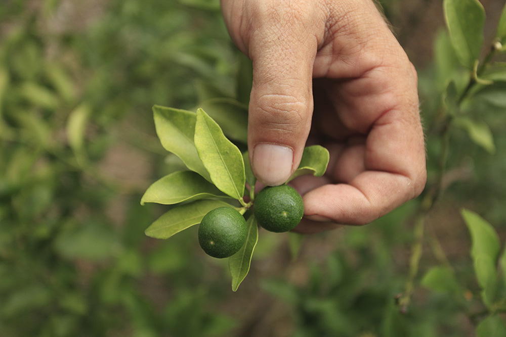 004-Limes-SA-Bontanical_150818_8700